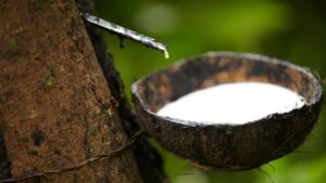 cultivation of natural rubber